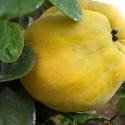 Birs lekvár, Balaton parti kertünkben, saját, termesztésű g...